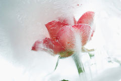 Ice cold rose Stock Photo