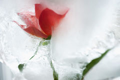 Ice cold rose Royalty Free Stock Image