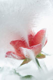 Ice cold rose Royalty Free Stock Photography