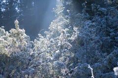 Ice on Conifer Shrubs. Lit by sunlight Stock Photo