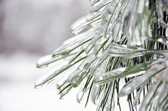 Ice cover of pine needles Royalty Free Stock Photography