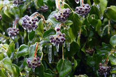 Ice cover on the plants Stock Photos
