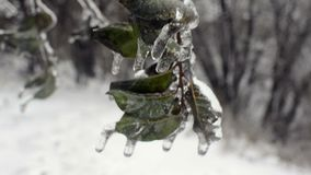 Ice covered apple tree branch with green leaves. Closeup view of frozen snow glazed green leaf on apple tree branch with blurred background stock video footage