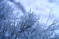 Ice-covered bilberry twigs. Winter in the forest of the Harz mountains, Germany. stock photos