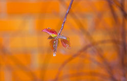 Ice-covered branch of ornamental garden shrub Royalty Free Stock Image