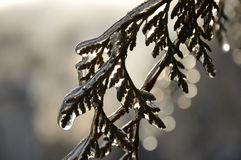 Ice-covered branch of tree Royalty Free Stock Photos