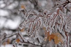 Ice Covered Branch Royalty Free Stock Image