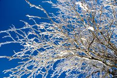 Ice Covered Branches. With deep blue sky in the background Stock Photo