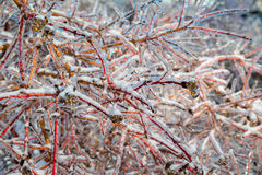 Ice Covered Branches Close Up Royalty Free Stock Images