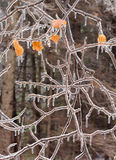 Ice covered branches after an ice storm. Stock Photos