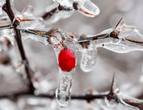Ice covered branches start to melt to icicles Stock Photography