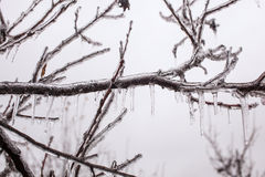 Ice-covered branches tree Stock Image