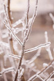 Ice-covered branches tree Royalty Free Stock Image
