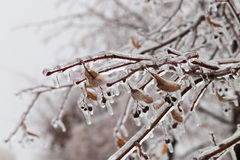 Ice-covered branches tree with multi-colored leaves after freezing rain Stock Photo
