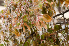 Ice-covered branches tree with multi-colored leaves after freezing rain Stock Image
