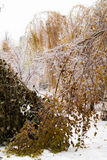 Ice-covered branches tree with multi-colored leaves after freezing rain Royalty Free Stock Images