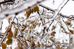 Ice-covered branches tree with multi-colored leaves after freezing rain Royalty Free Stock Photos