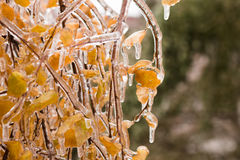 Ice-covered branches tree with multi-colored leaves after freezing rain Stock Photography