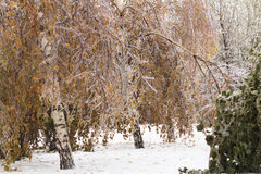 Ice-covered branches tree with multi-colored leaves after freezing rain Stock Photos