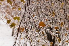 Ice-covered branches tree with multi-colored leaves after freezing rain Stock Images