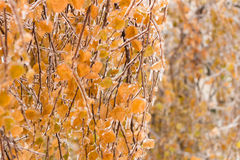 Ice-covered branches tree with multi-colored leaves after freezing rain Royalty Free Stock Photography