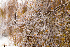 Ice-covered branches tree with multi-colored leaves after freezing rain Royalty Free Stock Photo