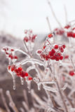 Ice-covered branches viburnum Royalty Free Stock Photos