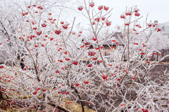 Ice-covered branches viburnum Royalty Free Stock Photo