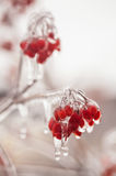 Ice-covered branches viburnum Royalty Free Stock Photography