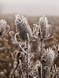 Ice covered bull thistle Royalty Free Stock Image