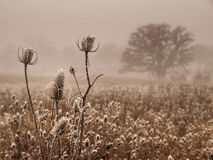 Ice covered bull thistle Stock Photos