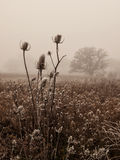 Ice covered bull thistle Royalty Free Stock Photos