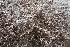 Ice-covered bushes. Branch bush under a layer of ice in the winter Stock Photos