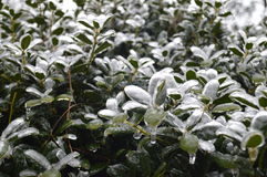 Ice covered bushes Royalty Free Stock Photography
