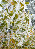 Ice Covered Colourful Autumn Leaves. Detail of ice covered bush with colorful autumn leaves seen in the morning after a freezing night in Vitosha Mountain Stock Images