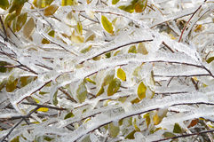 Ice Covered Colourful Autumn Leaves. Detail of ice covered bush with colorful autumn leaves seen in the morning after a freezing night in Vitosha Mountain Royalty Free Stock Photo