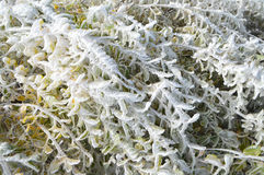Ice Covered Colourful Autumn Leaves. Detail of ice covered bush with yellow leaves shoot in the morning after a freezing night, late autumn in mountain Royalty Free Stock Photos
