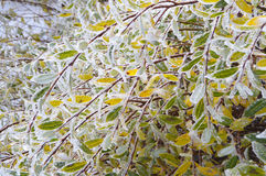Ice Covered Colourful Autumn Leaves. Detail of ice covered bush with yellow leaves shoot in the morning after a freezing night, late autumn in mountain Stock Image