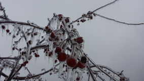 Ice covered crab apples 3 Stock Images