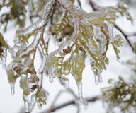 Ice covered evergreen Stock Photo