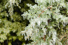 Ice covered evergreen tree. A layer of ice coats the branches of a Cedar tree after an ice storm Stock Photography