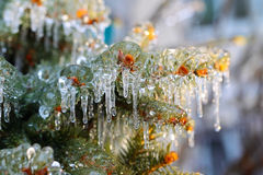 Ice covered fir branches Stock Photo