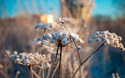 Ice covered flower. Frozen umbrella flowers covered with snow Royalty Free Stock Photography