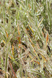 Ice-covered grass Stock Photos