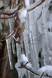 Ice covered leaves. Royalty Free Stock Photo