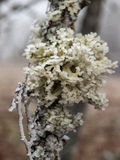 Ice covered lichen Stock Photos