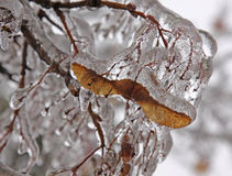 Ice Covered Maple Key Royalty Free Stock Photos