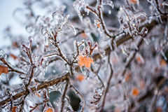 Ice Covered Maple Tree Branches Royalty Free Stock Images