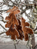 Ice covered oak leaves Stock Photo