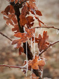 Ice covered oak leaves Royalty Free Stock Photos